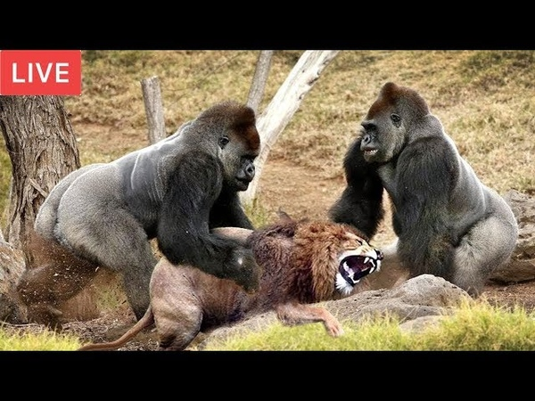 LIVE Gorilla Attack Lion Save Team Moments Of Animal Fight Battle Wild Animal Planet 2018