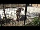 Тигрица Фрося после драки