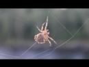 Паук плетёт паутину - Spider spins a web