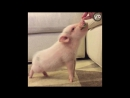 Story of Hank The Pig
