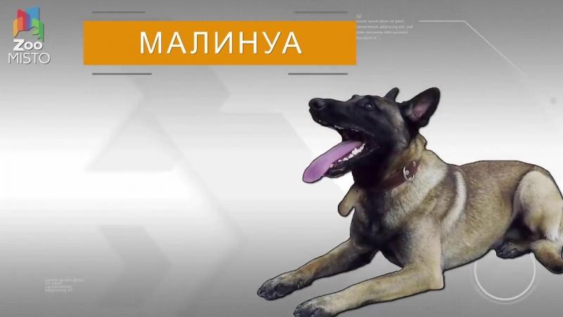 Бельгийская овчарка Малинуа - Все о породе собаки _ Собака породы - Бельгийская