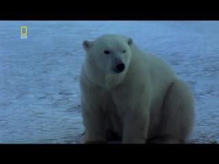 «Планета хищников: Полярный медведь» (Документальный, природа, животные, 2007)