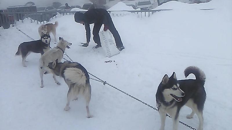 Husky Dogs on Rogla mountian