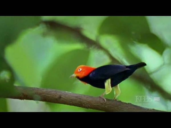 Moonwalking Bird HD. Танцует как Майкл Джексон. Поет без голоса.