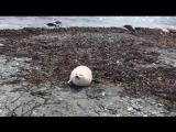 白白胖胖小海豹萌出天际 (视频)