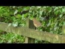 Пение птиц • Певчий дрозд • Song Trush