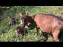 ДОМАШНИЕ ЖИВОТНЫЕ и их ДЕТИ - Как ГОВОРЯТ животные - Развивающее ВИДЕО домашние