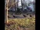 The chicken cult!