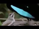 Завлекающий танец самца одного из видов райских птиц. Кстати, у самцов суперчёрные перья, поглощающие до 99,95 света.