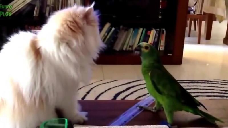 Наглый попугай и кот Приколы с животными mp4