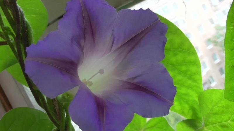 Цветок вьюнок ипомея, у цветка синие цветы