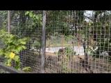 В Тайгане тигрята в каждом вольере ! Крым
