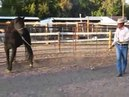 Bucking Stock Rescue 4 Toothless First Halter Work, Sean Davies,coloradoreinsman