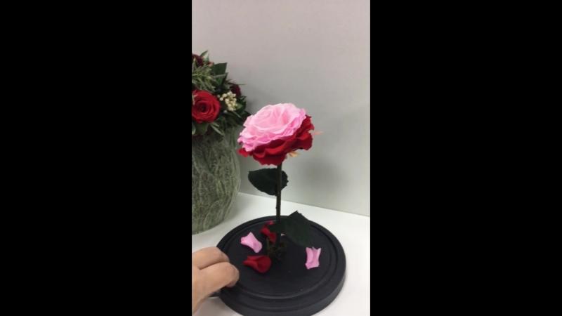 Роза в Колбе Роза под Куполом Роза под Колпаком Бессмерная Роза Крым