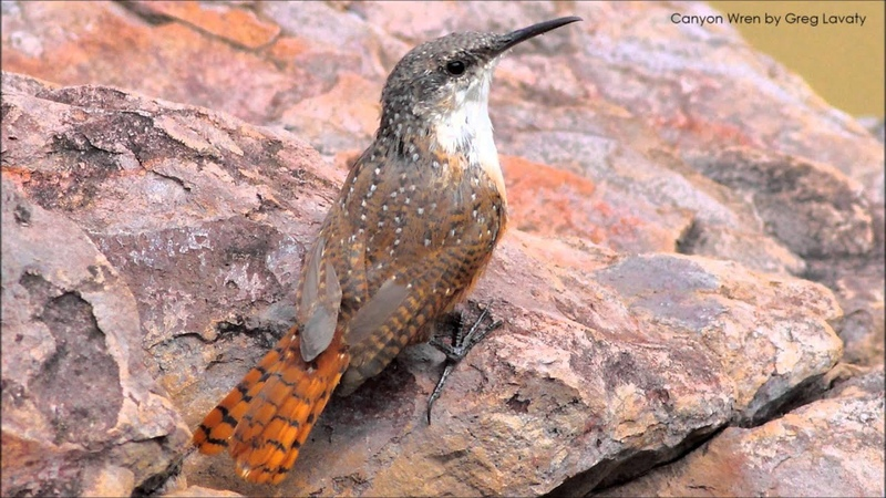Canyon Wren Song and Call