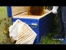 № 37. Эпитафия по ульям №№ 3, 4. Пчелосемьи №№ 3 и 4 к сожалению, полностью исчезли. В ульях остались только пустая сушь с тонко