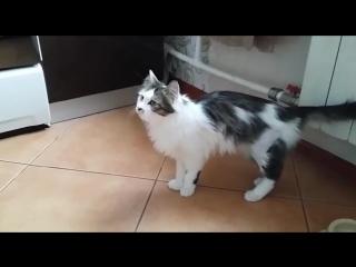 Кошка Кассандра после операции в Хабаровске.
