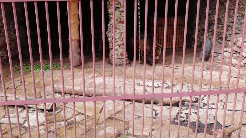 Медведь в экопарке Зюраткуль чешет спину