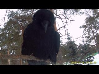 важный #ВоронВанхельсинг из Челябинска, восседает на дереве и толкает речь.