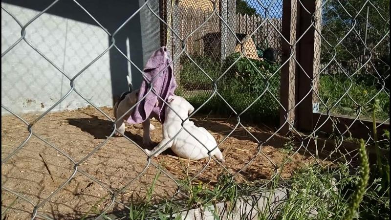 Пит-бульдоги от AREY и TERRY - на утреннюю разминку с ухваткой вышли всего два щенка, а остальные крепко спали (месяц и 5 дней)