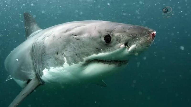 Акулы-убийцы [Неделя акул 2017 на Discovery]
