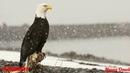 Белоголовый орлан король неба