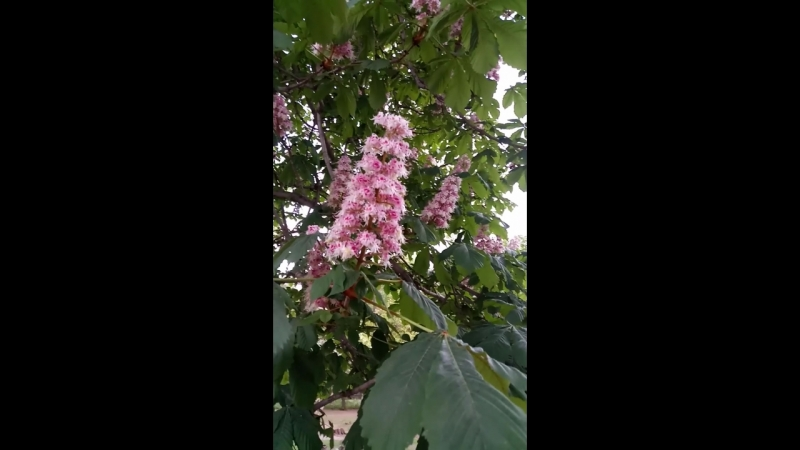 у нас во дворе цветет каштан