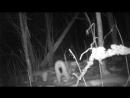 В Смоленском Поозерье рысь попала в фотоловушку