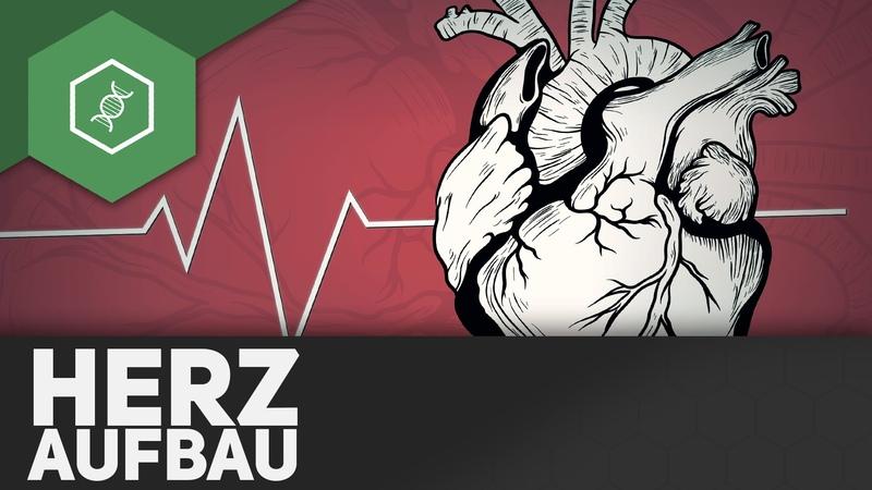 Der Aufbau des Herzens