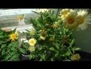 Жёлтая календула цветёт на подоконнике в цветочном горшке