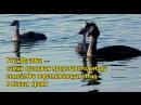 Утка Поганка самая красивая представительница семейства водоплавающих птиц в Волгодонске