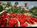 Самые необычные машины для сбора урожая ягод, фруктов и овощей