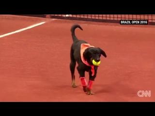 Street dogs retrieve balls during tennis tournament