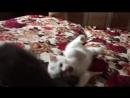 Котик белый с серой короной Британец) 1 мес. 17 дн.