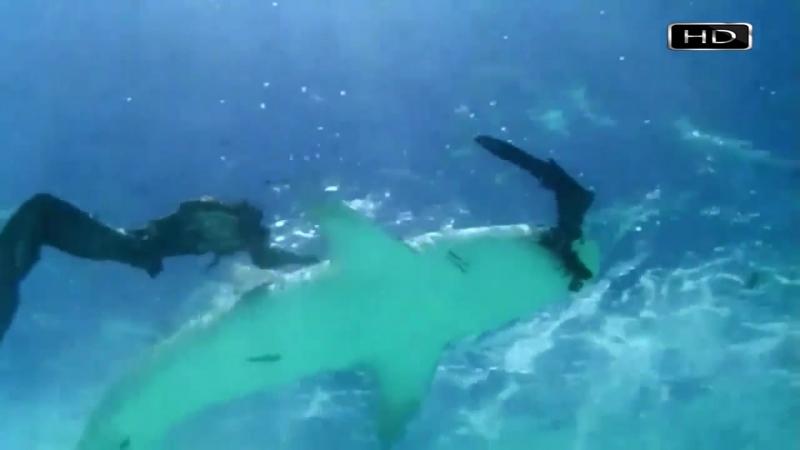 Неугомонная тигровая акула