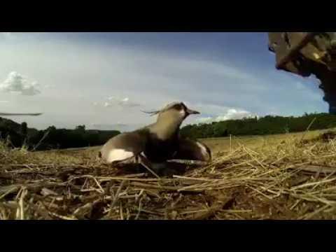 MÃE pássaro defende seus filhotes de SEREM Esmagados ainda no Ovo