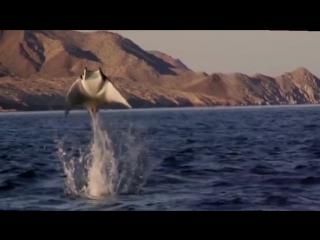 Ма́нта, или гигантский морской дьявол