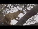 Животные Африки. Леопарды. Мир дикой природы. Документальный фильм