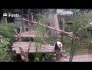 Panda wants a hug from nanny, but nanny is working.mp4