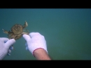 Размножение крабов