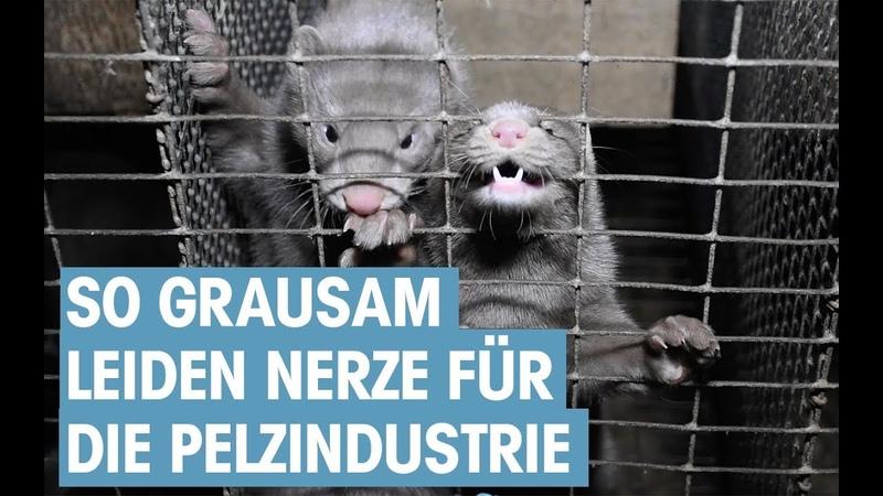 Aufgedeckt So leiden Nerze auf Pelzfarmen in Kanada PETA