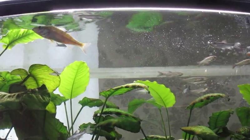 Речной окунь пугает стайку верховок в аквариуме