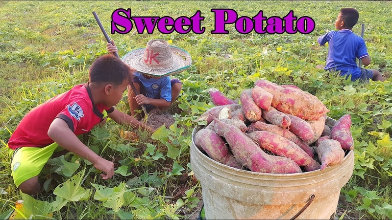 Rural lifestyle digging its sweet potato and Buffalo native pets His lovely