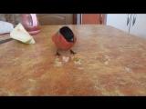 снегирь ест грушу
