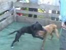 NELU S BADY vs TZUKU S TEDY 1XW
