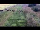 Литовские пограничники устроили конкурс пересчитать белорусских кабанов-нелегалов на одном видео