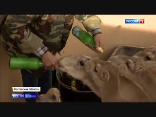 В Ростовской области восстанавливают популяцию сайгаков