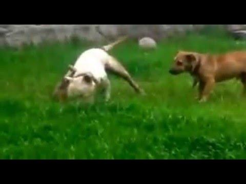 Homem é acusado de pegar animais de rua para seu pitbull matar em Içara SC AcheiC