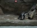 Хозяйственный пингвин 15 апр