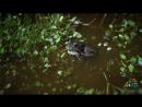 Брачная песня монгольской жабы Bufo Pseudepidalea raddei
